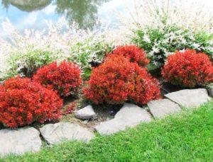 Барбарис идеальное растение для сада